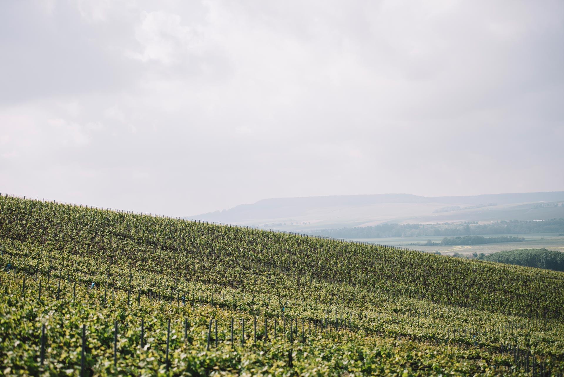 Cordon champenoise   Vallée de la Marne   Champagne