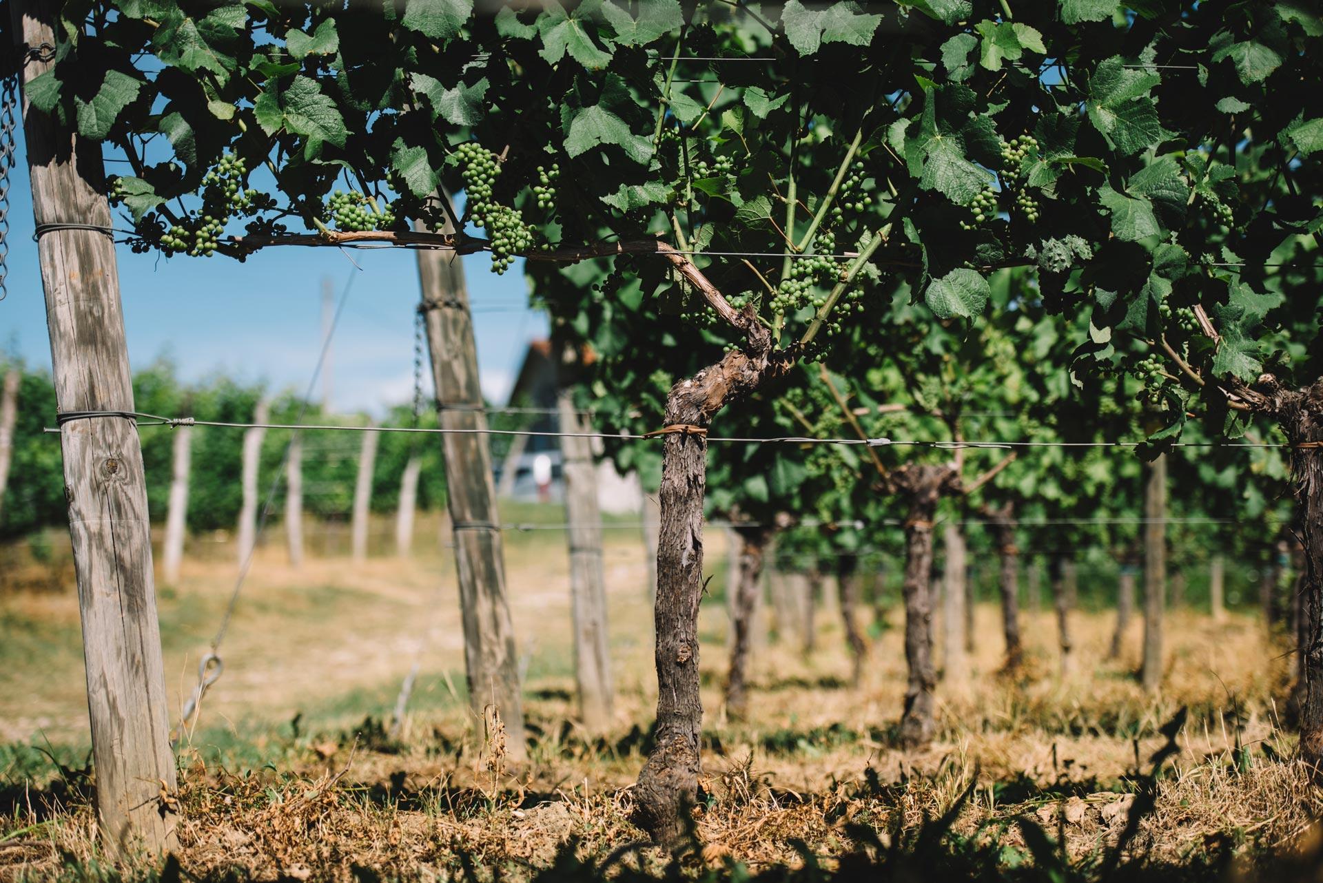 Guyot simple | Schiopetto | Collio | Friuli Venezia Giulia