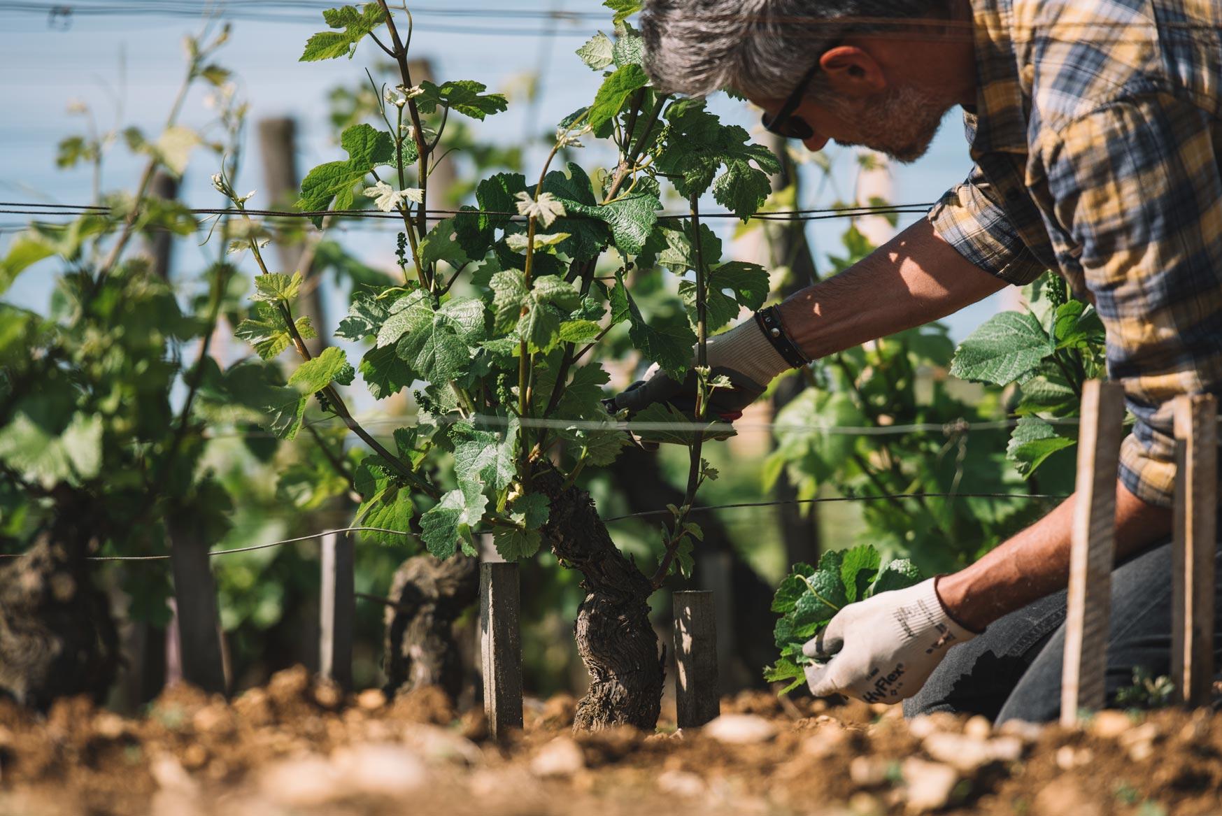 Formazione scelta germogli   Domaine Leroy   Romanée Saint Vivant   Bourgogne