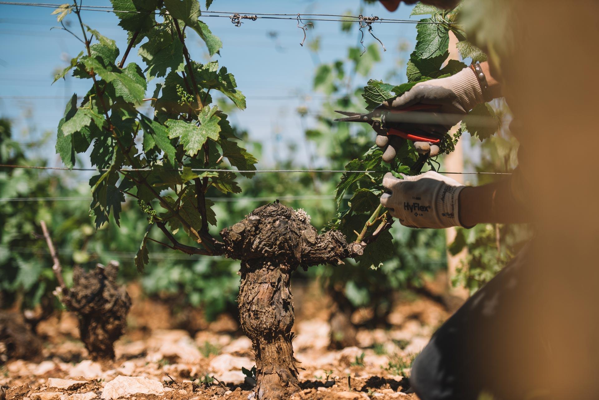 Formazione scelta germogli   Domaine Leroy   Montrachet   Bourgogne