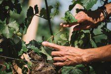 Formazione scelta germogli | Domaine Leroy | Montrachet | Bourgogne