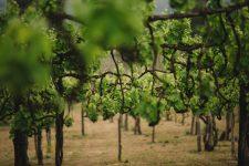 Tennecchie | Feudi di San Gregorio | Taurasi | Campania