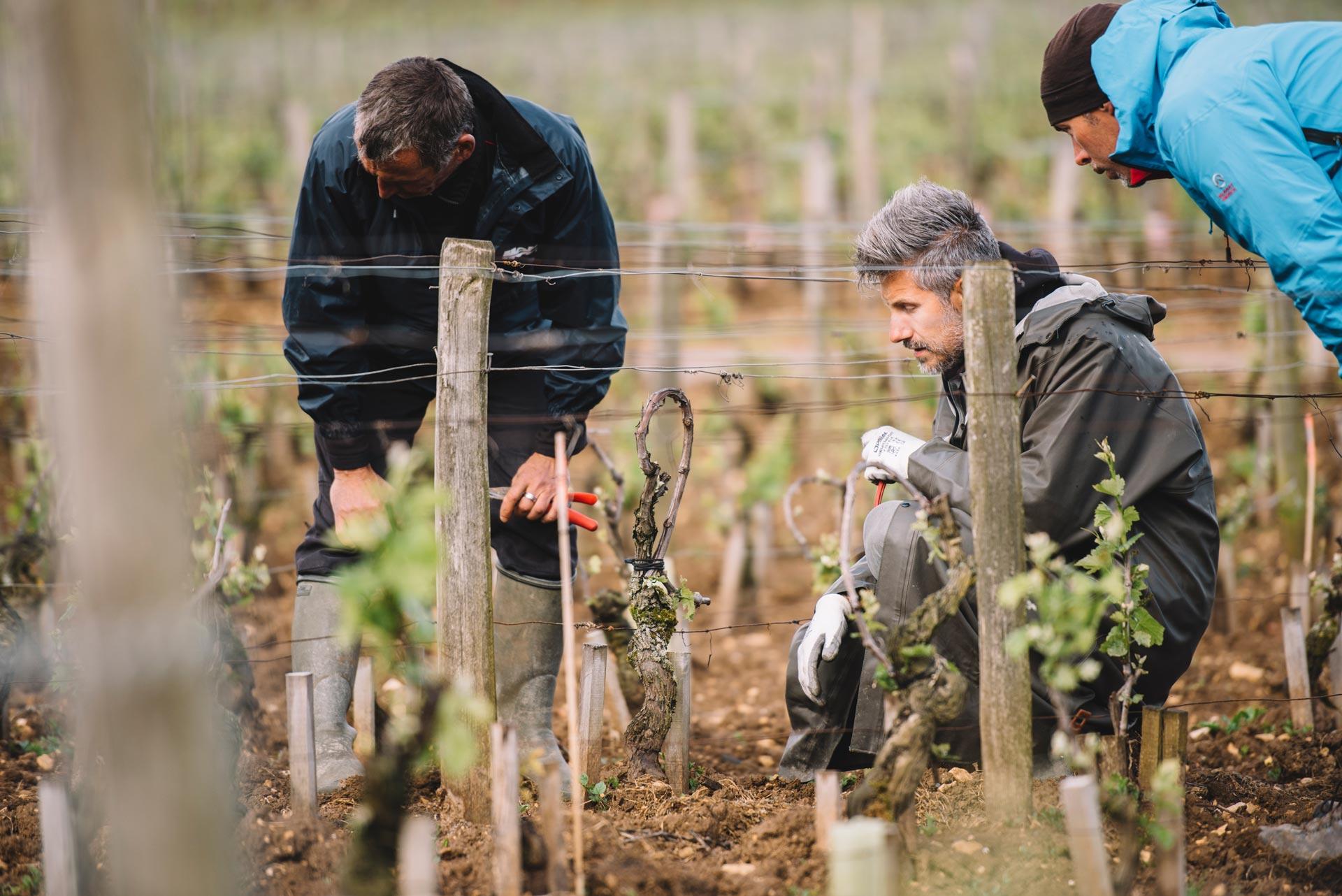Pratique de taille en vert | Domaine Leroy | Romanée-Saint-Vivant | Bourgogne