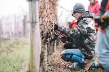 A Bordeaux le premier Diplôme Universitaire au monde de Taille de la Vigne