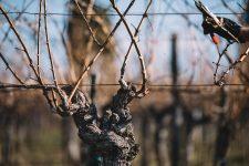 Guyot 40 ans | Schiopetto | Collio | Friuli Venezia Giulia