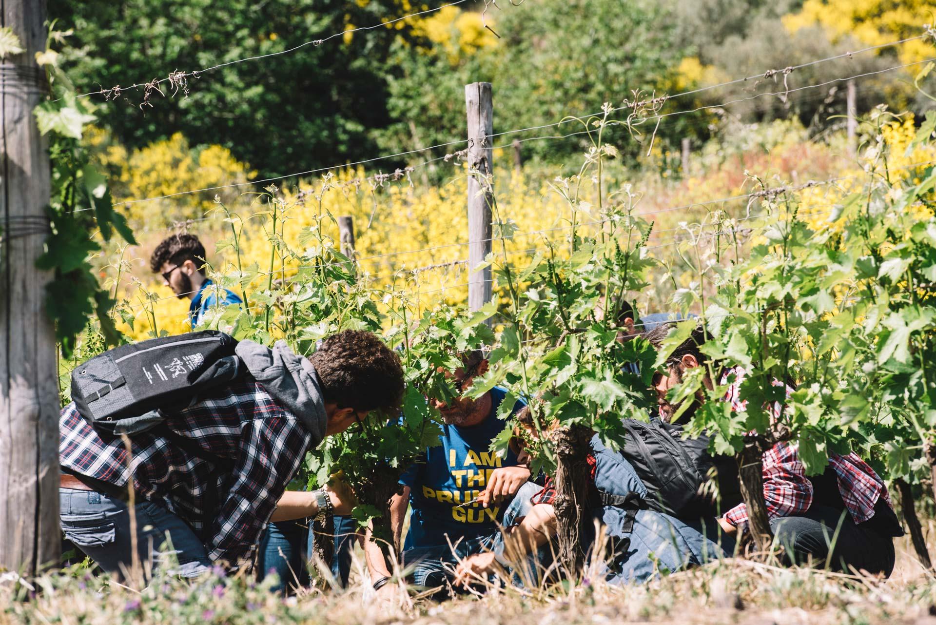 Pratique dans la vigne | Planeta | Passopisciaro | Etna | Sicilia | Italy
