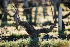 Guyot medoc. Utilisation du courson pour le control de la ramification | Château Pichon Lalande | Pauillac | Bordeaux