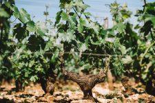 Guyot double | Domaine Leroy | Montrachet | Bourgogne