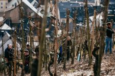 Accompagnement dans les vignes, Selbach Oster, Mosel, Germany