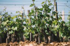 Formazione scelta germogli | Domaine Leroy | Romanée Saint Vivant | Bourgogne