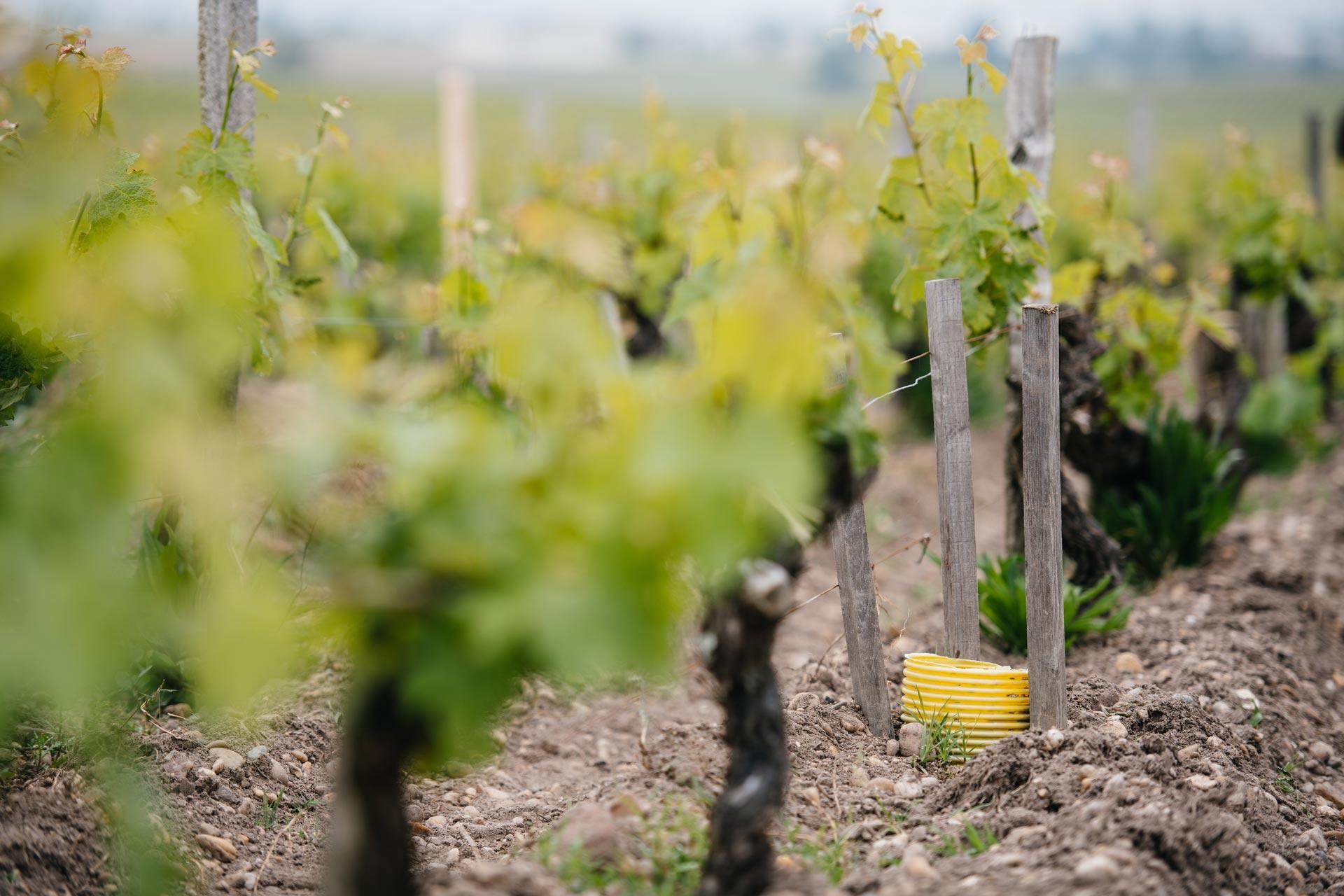 Greffe en fente   Château Pontet-Canet   Pauillac   Bordeaux