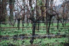 Guyot doppio capovolto | Bellavista | Franciacorta | Lombardia