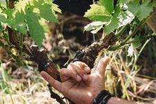 Choix des bourgeons | Planeta | Passopisciaro | Etna | Sicilia | Italy