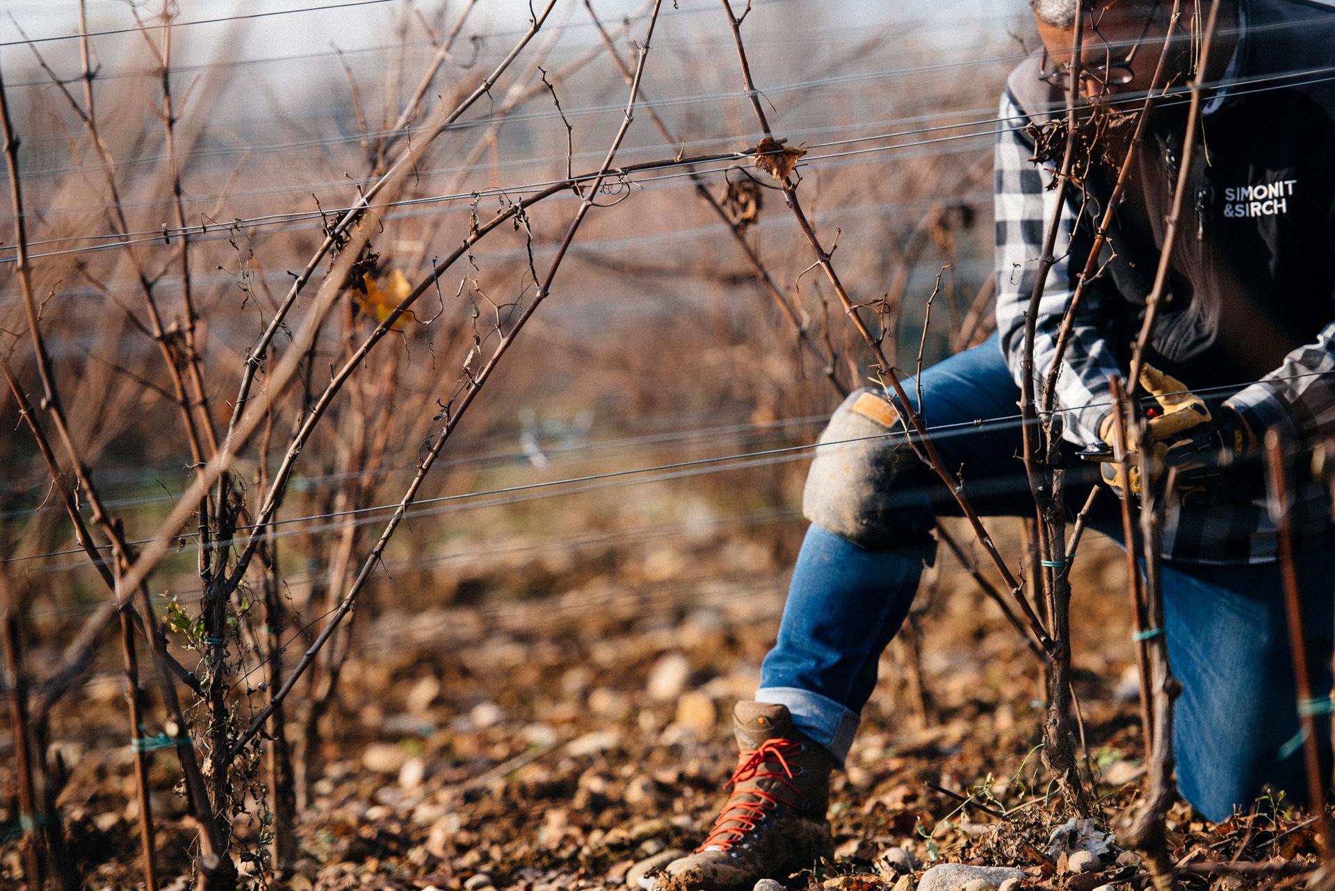 Guyot pruning | Ca del Bosco | Franciacorta | Italy