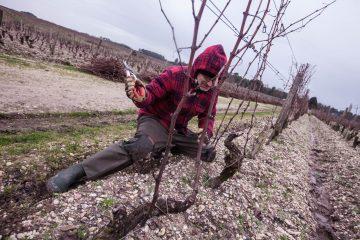 La Méthode Simonit&Sirch dans les vignobles du vin blanc plus précieux du monde